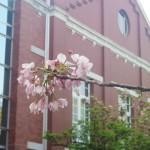 造幣局、赤レンガと桜